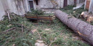 Lettere alla redazione: 'A Verbicaro hanno raso al suolo un albero di cedro secolare'