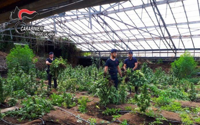 Taurianova (RC) | Scoperta piantagione di marijuana da 9 mln di euro: sequestrate 12mila piante