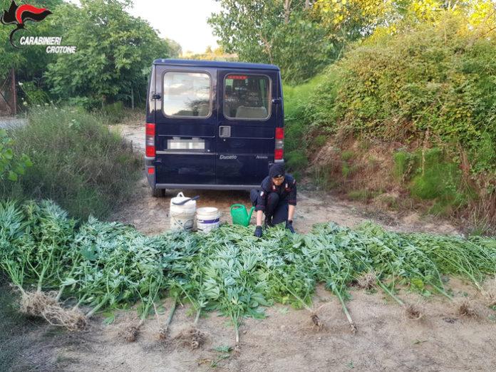 Papanice, scoperta piantagione canapa: due arresti