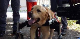 Vibo Valentia: è Morto Dylan, il labrador che lottava contro un tumore alle ossa