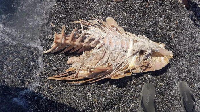 Scheletro di pesce spiaggiato a Scalea, il parere del biologo marino