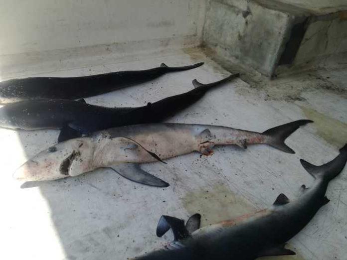 Carcasse di squaletti blu sulla spiaggia di Strongoli