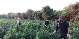 Nel Reggino scoperta maxi piantagione canapa da 3mila arbusti