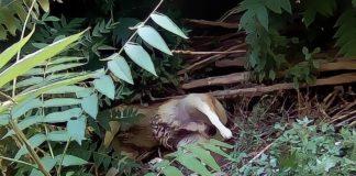 Marcellina, la mattanza continua: nelle ultime ore avvelenati altri due cani