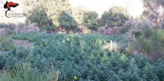 Bagaladi, scoperte oltre 5,3 mila piante di canapa indiana della varietà 'shunk'