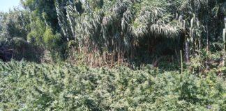 Piana di Gioia Tauro, sequestrate oltre mille piante di marijuana