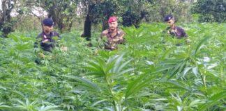Quattro arresti per 28mila piante canapa