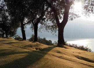 Il 28 ottobre in Calabria 'La Camminata tra gli olivi'