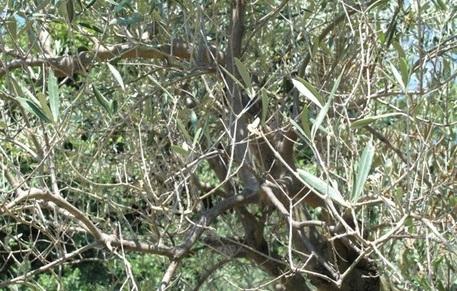 Calabria| Associazione Anpa avverte: 'Un parassita sta mettendo a rischio la campagna olivicola'
