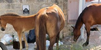Vibo Valentia, cavalli allo stato brado rovistano tra i rifiuti